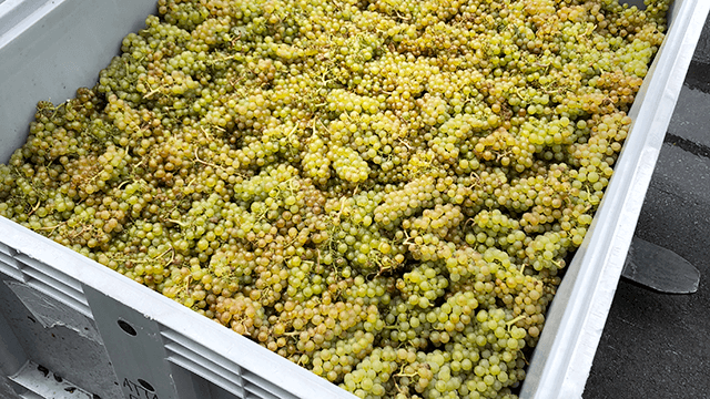 https://www.alfalaval.com/contentassets/ffaca599a52246e1a3e993fa937755db/new-zealand-sauvignon-blanc-grapes-in-tray_640x360.png