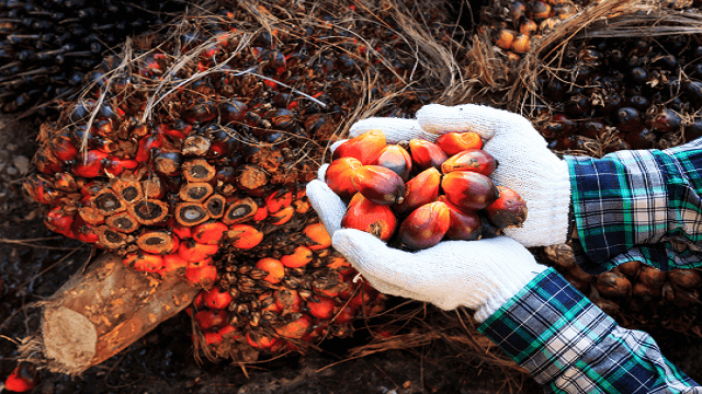 Palm oil seeds on the man´s hand-copy