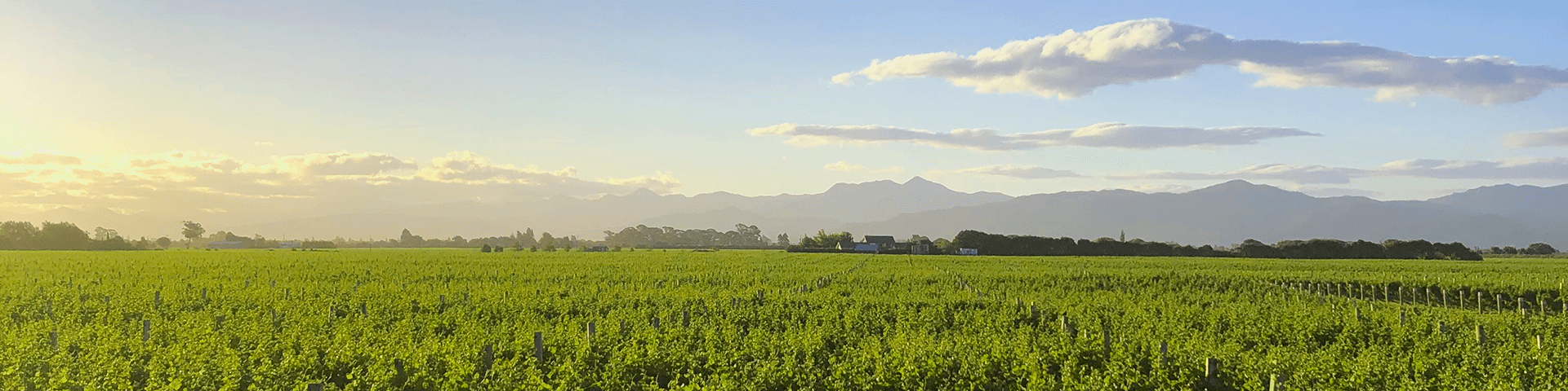 Field with vines in New Zealand 1920x480