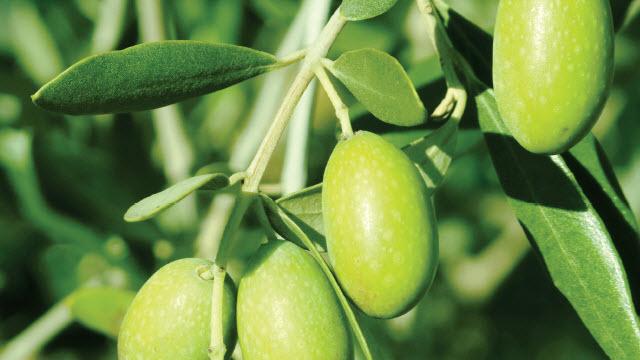 aceite de oliva, alfa laval