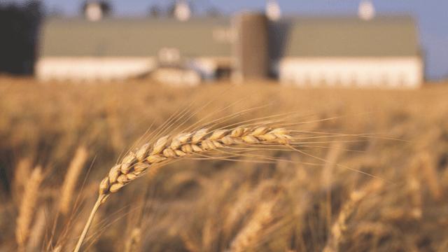 wheat 640x360