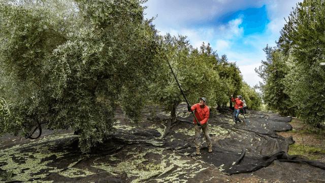 Caso-de-exito-aceite-de-oliva
