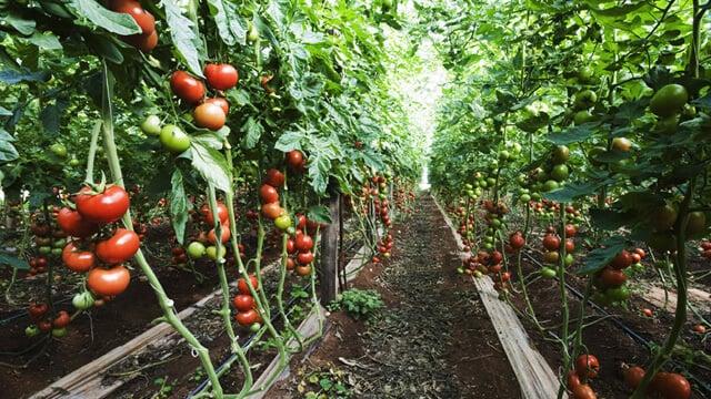 tomatoes 640x360