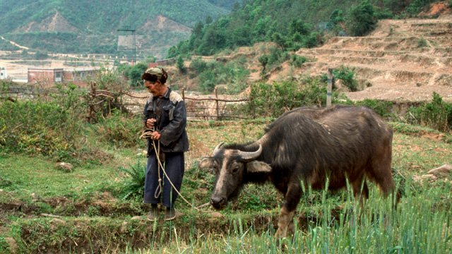 man walking with cow 640x360
