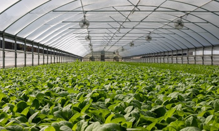 field-of-plants-in-greenhouse 700x418.jpg