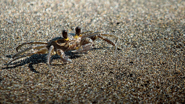 harris mud crab 640x360