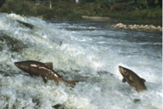Picture of salmon in a river