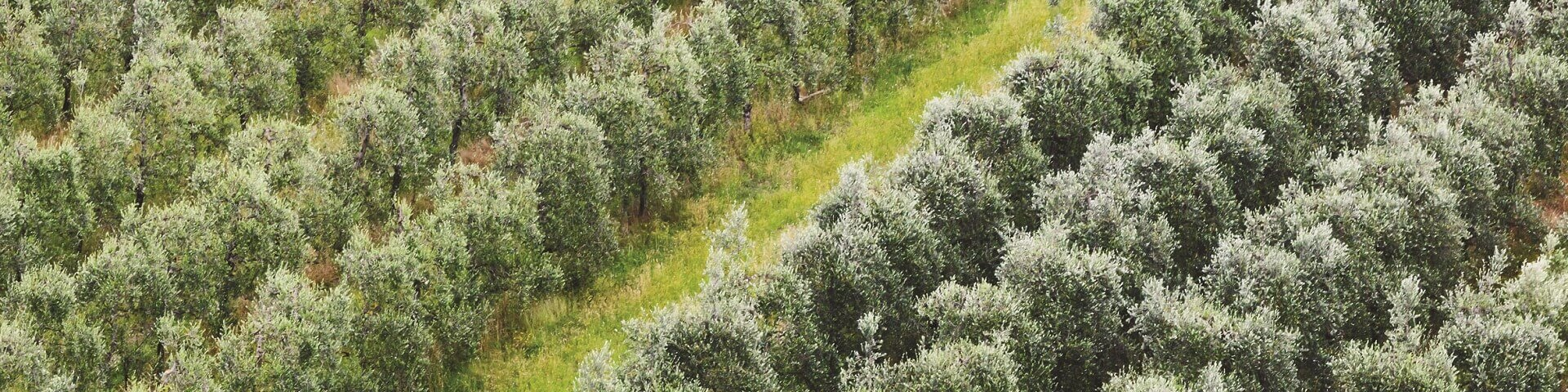 Olive farm 1920x480